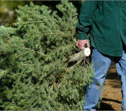 We'll recycle your real Christmas tree on your green/recycling day between Monday 6 January and Friday 31 January.